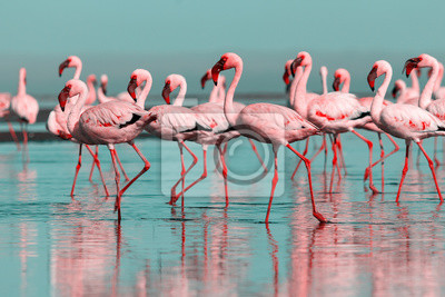 Fototapete Wild african birds. Group birds of pink african flamingos  walking around the blue lagoon on a sunny day