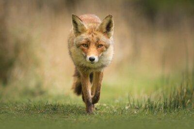 Fototapete Wild Red Fox