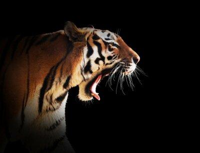 Fototapete Wild tiger roaring. Black background.