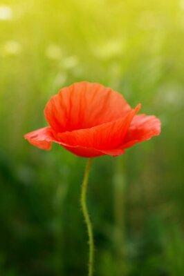 Fototapete Wilde Mohnblume Blume auf dem Feld