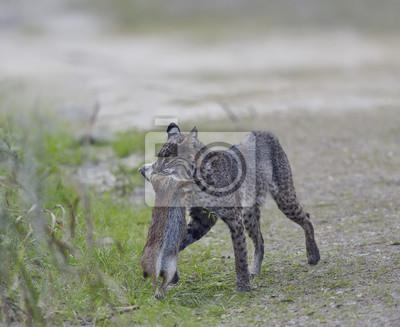 Wilder Bobcat Jagd