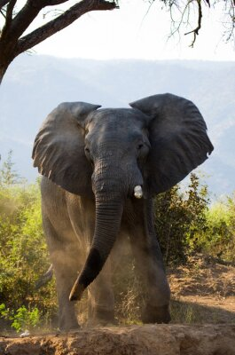 Fototapete Wilder Elefant wirft den Staub. Sambia. Unteren Zambezi Nationalpark. Zambezi River. Eine ausgezeichnete Illustration.