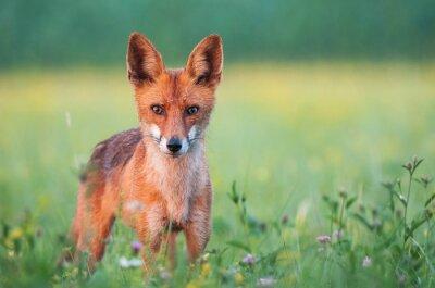 Fototapete Wilder roter Fuchs, der die Kamera betrachtet