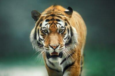 Fototapete Wildes Tier Tiger-Porträt