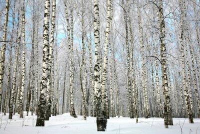 Fototapete Winter Birkenhain mit bedeckten Schneezweigen