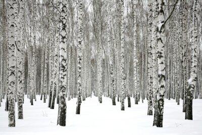 Fototapete Winter Birkenwald