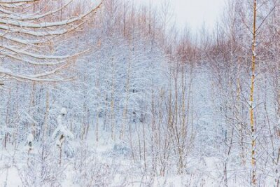 Fototapete Winter forest with snow and hoarfrost on trees