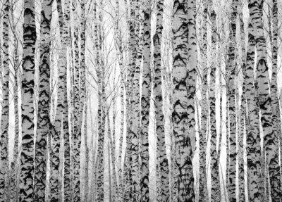 Fototapete Winter trunks birch trees