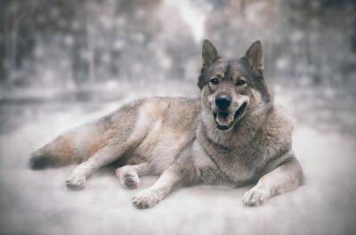 Fototapete Wolf / Happy von Wolf auf Schnee Hintergrund.
