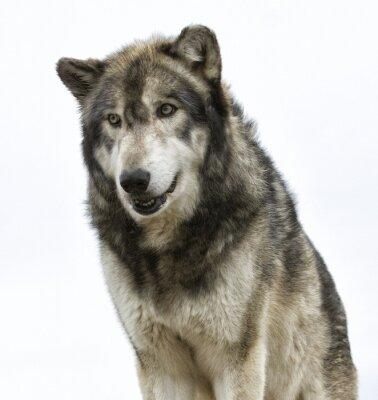 Fototapete Wolf-Kopf auf weißem Hintergrund