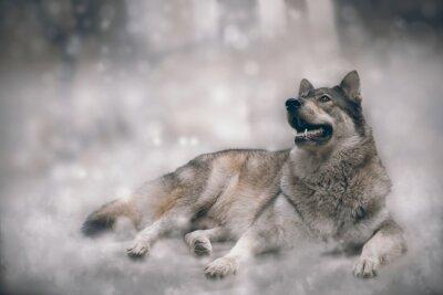 Fototapete Wolf / Nizza Wolf auf Schnee Hintergrund.