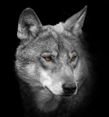 Fototapete Wolf-Porträt