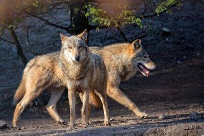 Fototapete Wölfe in freier Wildbahn