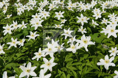 Wood Anemone Anemone Nemorosa Spring Flowers Blooming In Forest