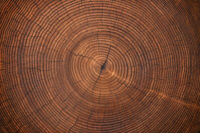 Fototapete wood texture of old stump. natural background of cut trunk with annual rings