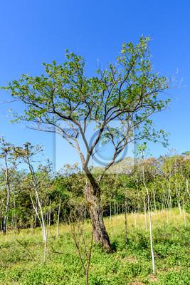 Mahagonibäume  Woodland & junge mahagonibaum setzlinge in escuintla, guatemala ...
