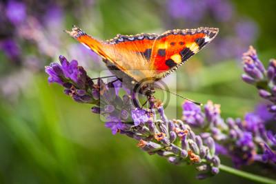 Wunderschöner Schmetterling auf duftenden Lavendel