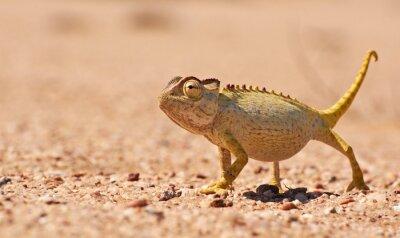 Fototapete Wüste Chamäleon in der Namib, Namibia