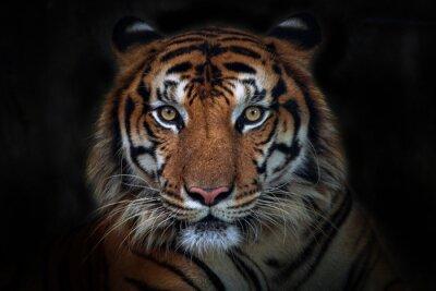 Fototapete Wütender Tiger, Sumatra-Tiger (Panthera tigris sumatrae) schönes Tier und sein Porträt