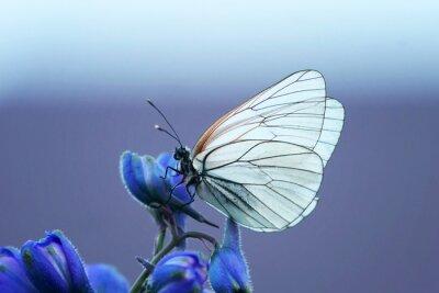 Fototapete Белая бабочка на синем цветке