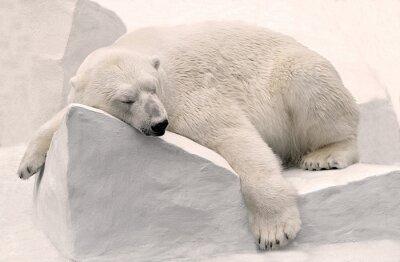 Fototapete Белый медведь спит.