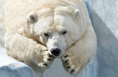 Fototapete Белый медведь.
