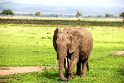 Fototapete Африканский слон