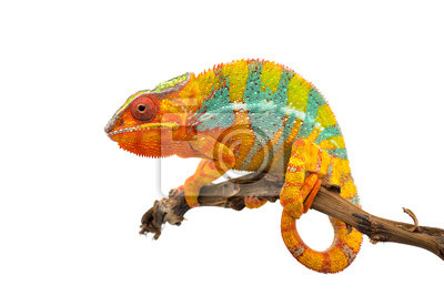 Fototapete Yellow blue lizard Panther chameleon isolated on white background
