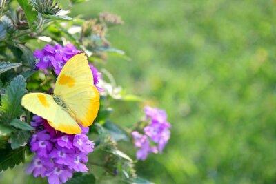 Fototapete Yellow Butterfly on Purple Flowers Background