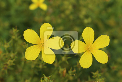 Yellow Flax Flowers Or Golden Flax In Innsbruck Austria