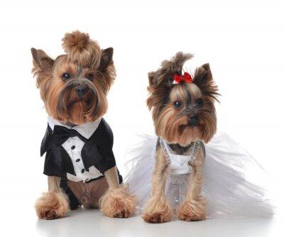 Fototapete Yorkshire-Terrier gekleidet für Hochzeit wie Besen und Braut s