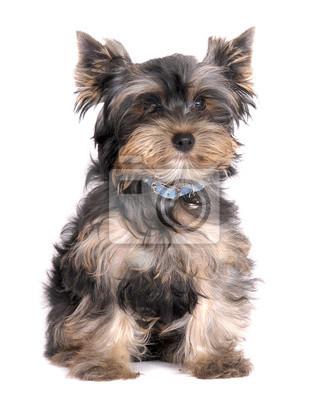 Yorkshire Terrier Small Dog Fototapete Fototapeten Keuchend