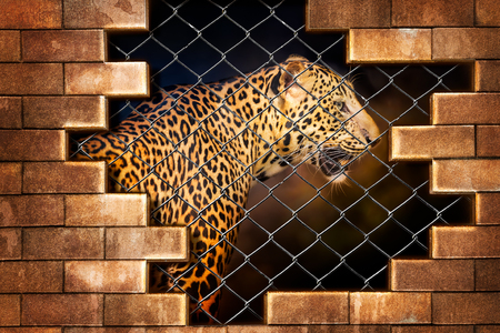 Fototapete Young leopard internal the cage in concept of resist torture and torture the wildlife