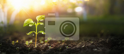 Fototapete Young Plant in Sunlight, Growing plant, Plant seedling