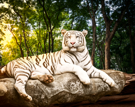 Fototapete Young white bengal tiger in the act of relax on stone at natural forest