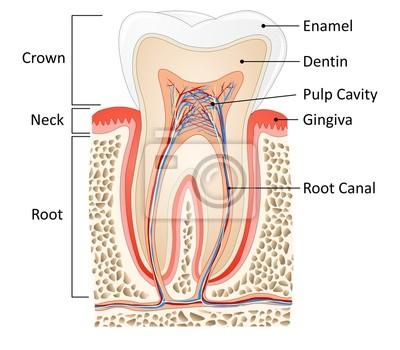 Zahn medizinische anatomie fototapete • fototapeten Zahnstein ...