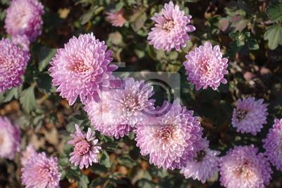 Zarte Rosa Blumen Der Chrysantheme Im Herbst Fototapete