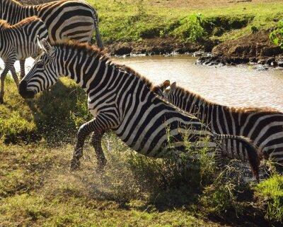 Fototapete Zebra ein sair da água