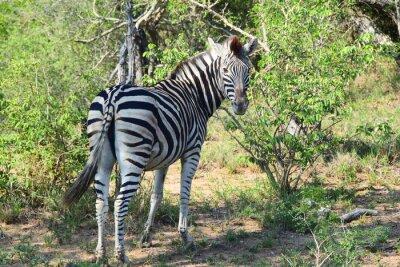 Fototapete Zebra in Afrika Rückblick