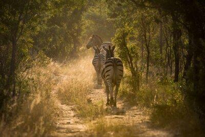 Fototapete Zebras auf einem Pfad im Gegenlicht