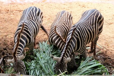 Zebras sind herbivores charakteristische schwarze und weiße Streifen.