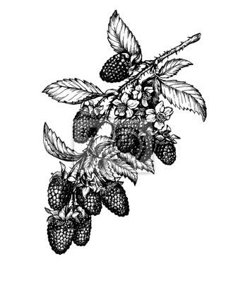 Zeichnen sie den zweig der reifen boysenbeere (tayberry, hybride ...