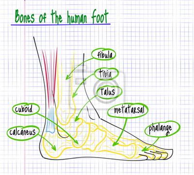 Zeichnung der anatomie des menschlichen fußes fototapete ...