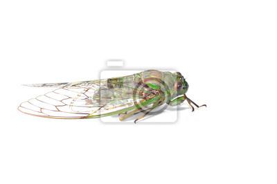 Zikade isoliert