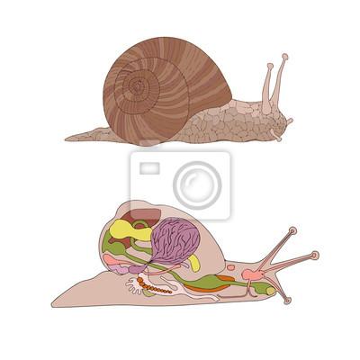 Zoologie, anatomie, morphologie, querschnitt schnecke fototapete ...