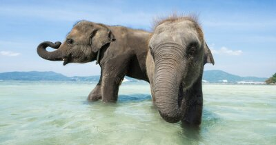 Fototapete Zwei Baby-Elefanten im Meer. Banner Ausgabe.