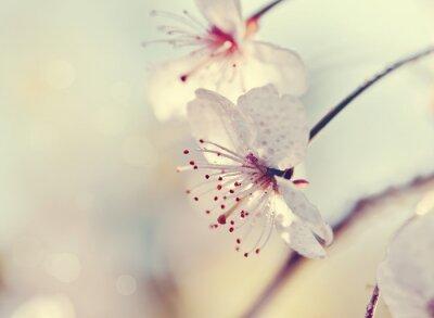 Fototapete Zwei Blüten Kirsche close-up