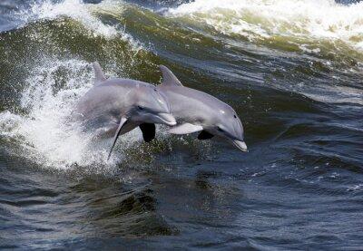 Fototapete Zwei Bottlenose-Delphine (Tursiops trunkiert)