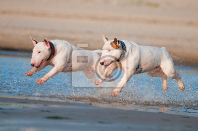 zwei Englisch Bullterrier Hunde laufen