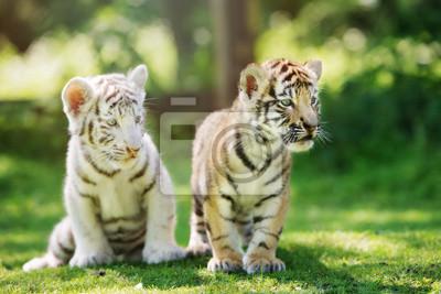 Zwei entzückende Tigerjunge, die draußen aufwerfen